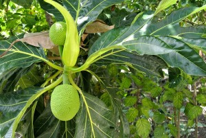 breadfruit-byviall6-gardenterrace