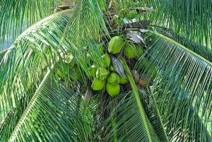garden-coconuts