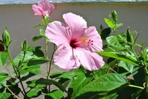 gardens-hybiscus
