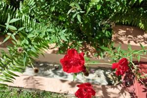 redrosegardens