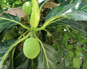 Breadfruit- Poinsettia home grown fruit & Veg